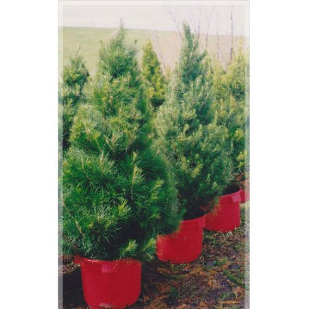 Christmas Trees Potted